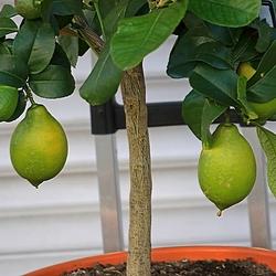7B5A6804--citroenen