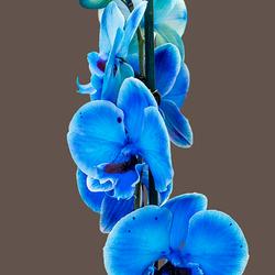 Blauwe Orchidee