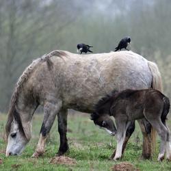 Welsh pony met veulen