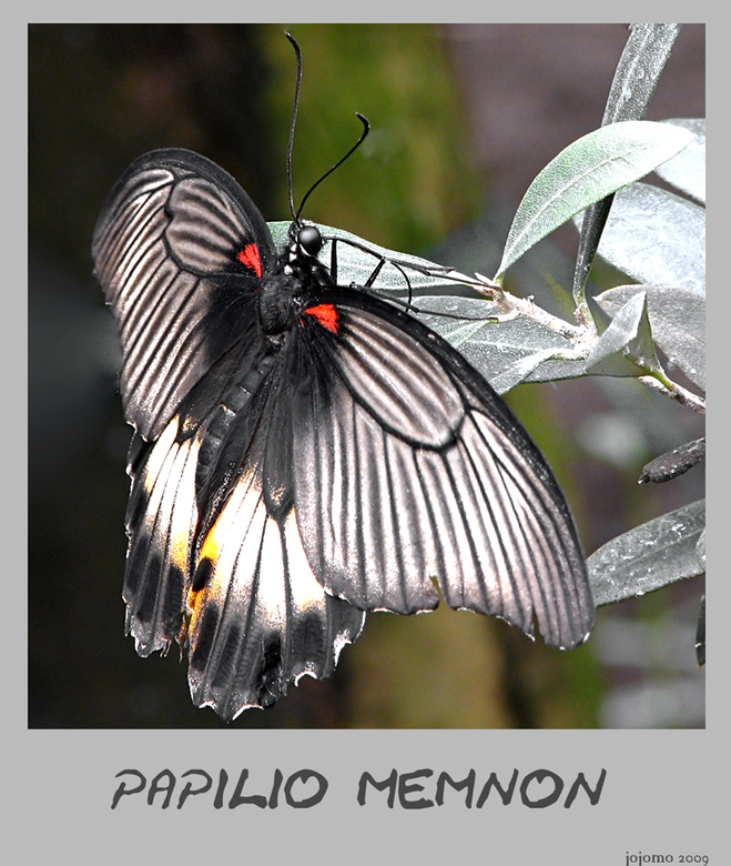 Papilio memnon - Zijn verblijfplaats is momenteel in Luttelgeest.<br /> Oorspronkelijk komen zij uit Azie, India of China.<br /> <br /> Nog een fij
