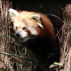Rode panda dierenpark Rhenen