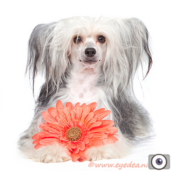 Powder Puff - Chinese Crested