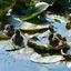 badderende mussen