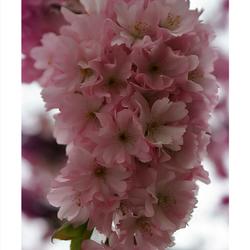 Fleur rose (Prunus)
