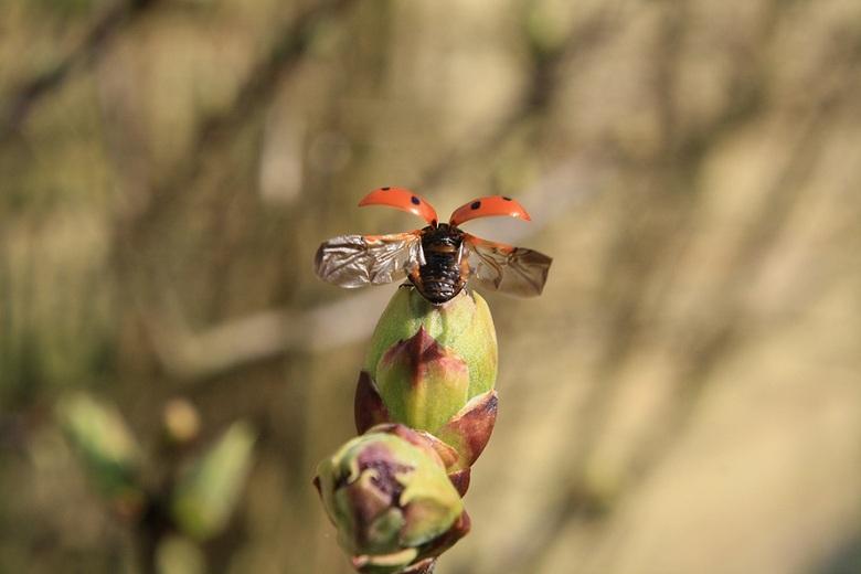 Lieveheersbeestje - Lieveheersbeestje