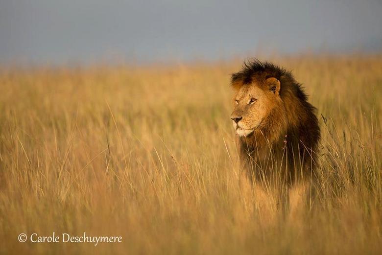 Prince of the Masai Mara - Zoon van de bekende leeuw Notch, Kenya
