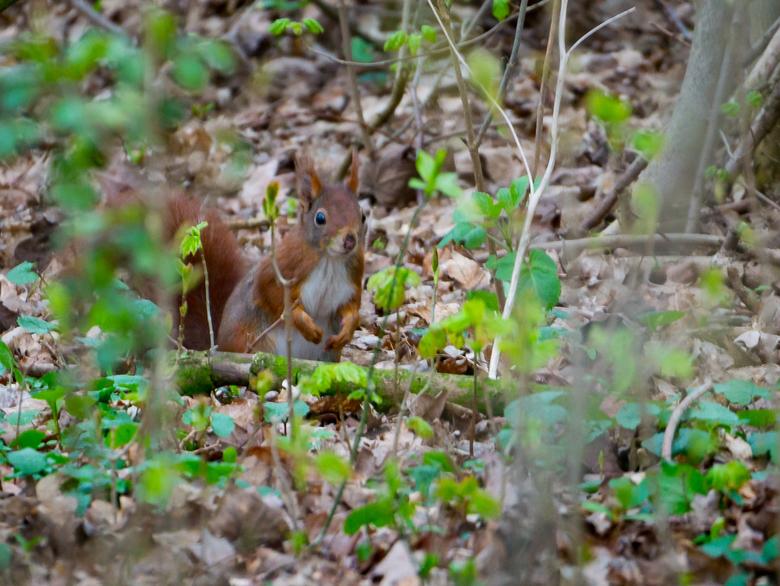 Secret squirrel - Deze mooie eekhoorn zag ik in het bos tijdens een wandeling op eerste paasdag!