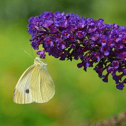 Snoepen van de Vlinderstruik.