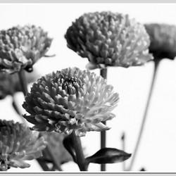 bloem zw witDSC_7891