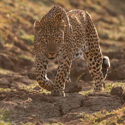 Luipaard op jacht