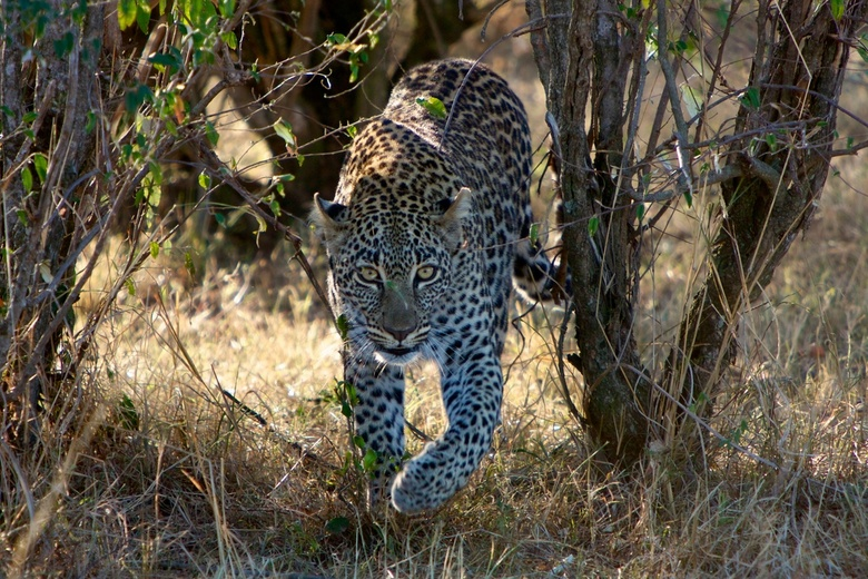 Early morning Leopard