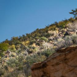 Hartmann's mountain zebra's