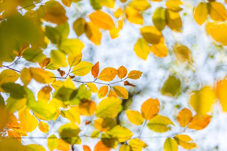 herftskleuren - de herfstkleuren van de beuk.