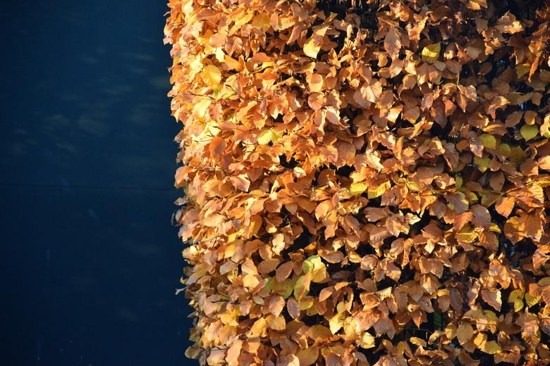 heg van HERFST  - einde van een heg : mooi afstekend door donkere kleur