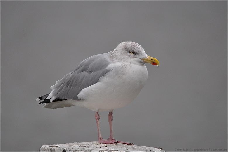 Ben zielig ben Verkouden(deze Zilvermeeuw dan he) - ook via een rondje Lauwersmeer<br /> <br /> na een pauze van een paar week probeer ik de draad w