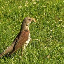 Kramsvogel  met engerlinglarve