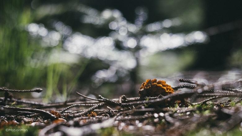 Dennenappel - Dennenappel in het bos.<br /> <br /> ©MotionMan