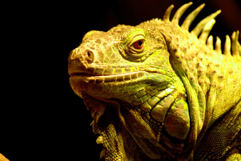 Leguaan - Ik vind het zelf erg leuk om reptielen met macro fotografie vast te leggen hier een voorbeeld.