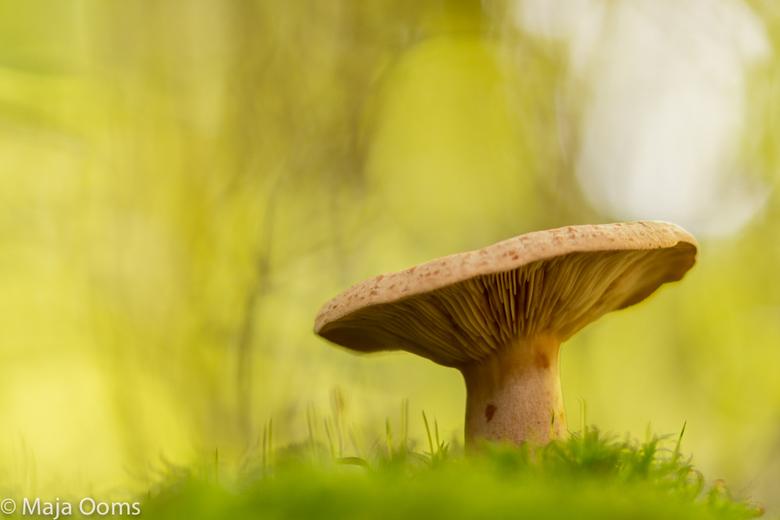 Mister Big... - Ze zijn er weer...paddenstoelen...vlinderpad bij de Kalmthoutse heide had er volop!