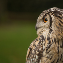 PERFECT EYES screen(Bubo bubo)
