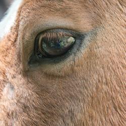 pony oog reflecteerd fotograaf