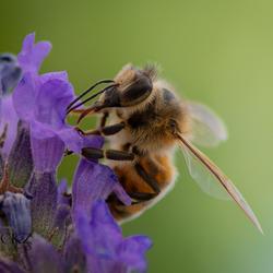 Bijen houden van Lavendel