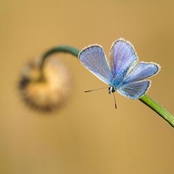 Icarusblauwtje open