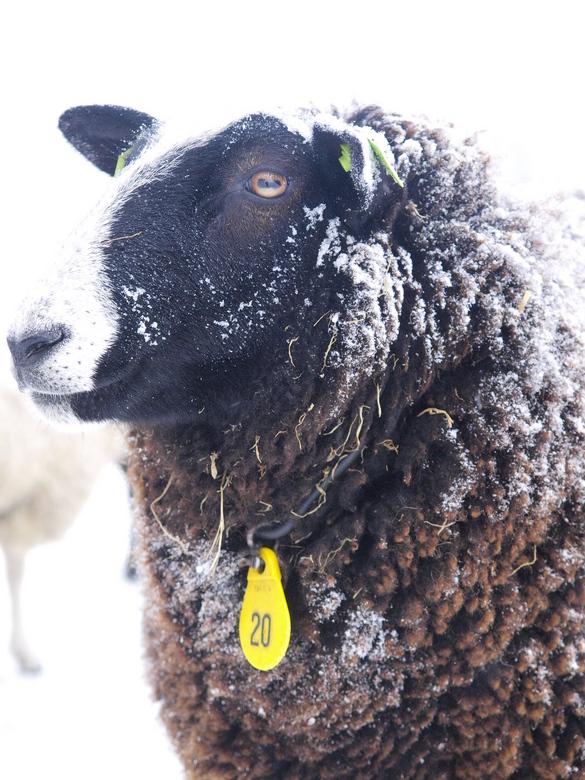 Madame 20 - Verse sneeuw en stro omlijsten deze statige dame, die de winterse kou natuurlijk trotseert met haar wollen mantelpakje.