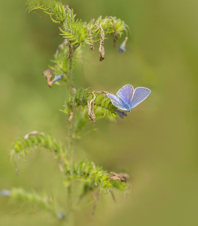 Blauwtje - Ook gemaakt tijdens de zoomdag in de Natuurtuin bij Natuurcentrum Veluwe in Ede