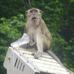 Wilde aap in Maleisië