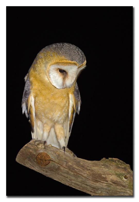 Waar is het muisje! - een kerkuil is een nacht vogel, in de nachtelijke uurtjes, foto's mogen maken van deze prachtige roofvogel, geheel in alle