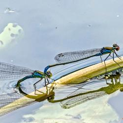 Libelle in paring _DSC0650