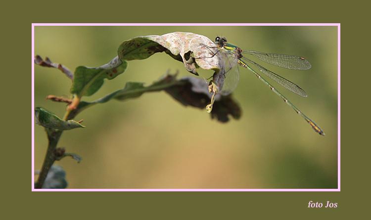Libelle - De jacht op deze mooie beestjes is al een sport op zich. Op 'n stukje natuur vlak bij mij in de buurt zitten er heel veel. Zwarte, rode
