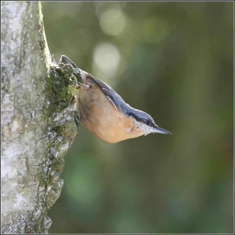 Boomklever - De boomklever is voornamelijk te vinden in loofbossen. Bomen met veel stamoppervlak worden nauwkeurig afgezocht naar insecten. Met zijn l