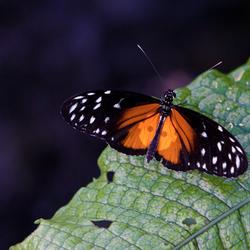 BCC vlinder