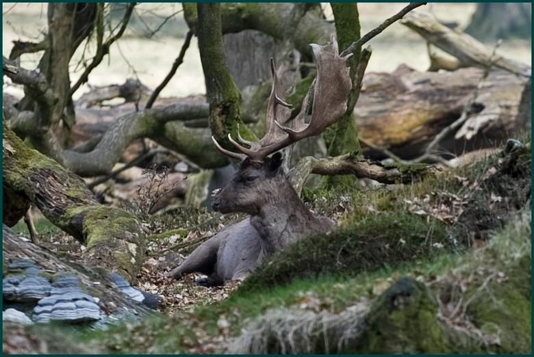 Damhert - Wildpark Aardhuis