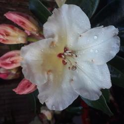 Rhododendron op zijn mooist