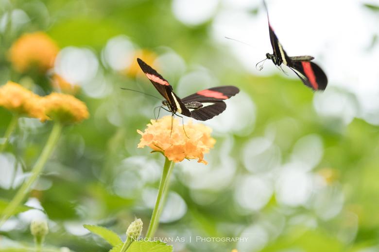 I love you - In de vlindertuin vloog de Heliconius Erato,  een aanvliegfoto en een foto op de bloem.<br /> Het is een dubbelbeeld, samengevoegd in Ph
