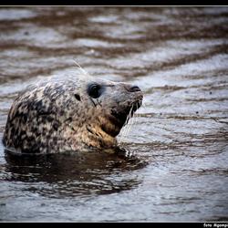 Texel; zeehond