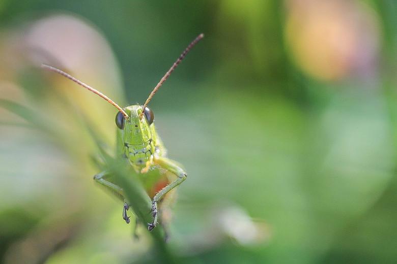 Moerassprinkhaan - Large Marsh Grasshopper, Moerassprinkhaan, Stethophyma grossum