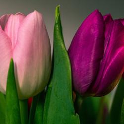 Tulpen - Spring
