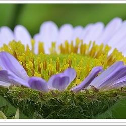 Erigeron Karvinskianus.... bloeiend