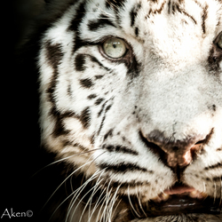 Tiger fine art
