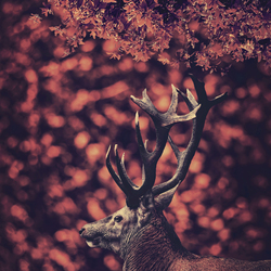The red deer in the red forest (close up)