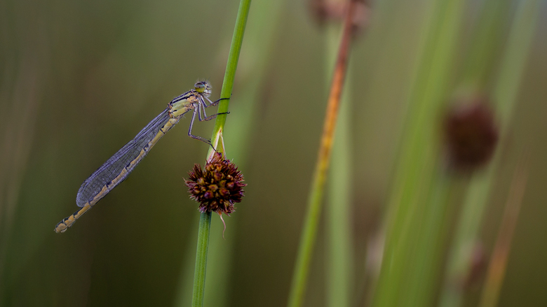 Stacked Dragonfly - Vanavond nog eens naar het veldje geweest om te kijken of er al blauwtjes aanwezig waren, maar weer helaas ,wel heel veel juffers