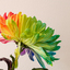 Chrysanth in 4 kleuren