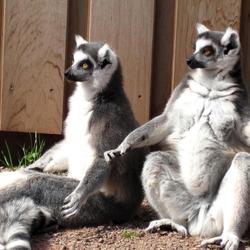 Lemuren in Artis