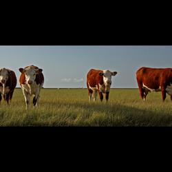 Koeien in het Friese landschap 2