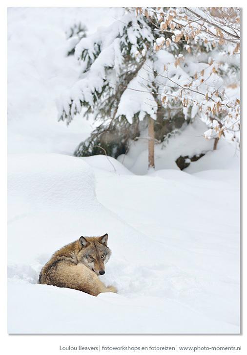 Brother wolf - Ook deze foto is gemaakt tijdens eens van de reizen die ik organiseer naar het Beierse woud.