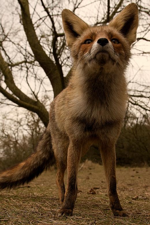 To close ??? - Ook vanuit kikvorsperspectief blijven de vossen in de AWD heel fotogeniek.
